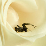 Black spider in white rose Royalty Free Stock Photography