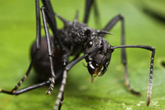 Black Spiky Ant close up Royalty Free Stock Images