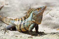 Free Black Spiny-tailed Iguana Royalty Free Stock Photos - 22401318