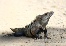 Black Spiny Tailed Iguana Stock Images