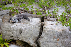 Black spiny tailed iguana Stock Photography