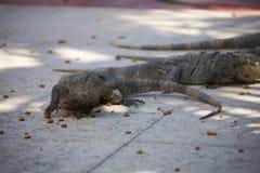 Black spiny tailed iguana Royalty Free Stock Images
