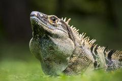 Black spiny-tailed iguana from Costa Rica Stock Photo
