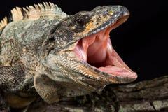 Free Black Spiny-tailed Iguana Ctenosaura Similis Stock Image - 156616581