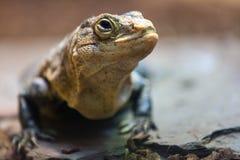 Black spiny-tailed iguana Stock Photography