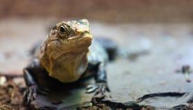 Black spiny-tailed iguana Royalty Free Stock Photos
