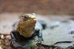 Black spiny-tailed iguana on ground Royalty Free Stock Image