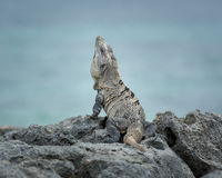 Black Spiny-Tailed Iguana. Iguana sitting on the rocks with a background of blue green ocean in Tulum, Mexico Royalty Free Stock Photography