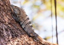 Black spiny-tailed Iguana Stock Image
