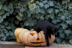 A black spirit comes out of a pumpkin. Halloween. stock images