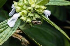 Black spot beetle Royalty Free Stock Photos