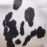 Black spots on white hide of domestic cow in holland Stock Image