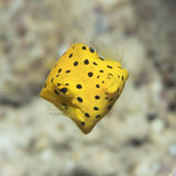 Black-spotted boxfish Royalty Free Stock Photos