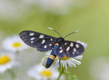 Black spotted butterfly on a white daisy Royalty Free Stock Image