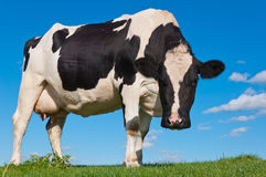 Black spotted cow standing on a Dutch dike Stock Photo