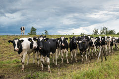 Black spotted cows and a threatening cloudy sky Royalty Free Stock Photo