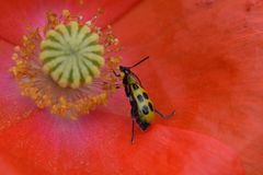 Cucumber Beetle Eating Poppy Pollen 04 Stock Photography