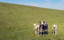Black spotted ewe with her three white lambs Stock Image