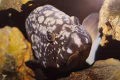 Black spotted fish closeup Royalty Free Stock Photos