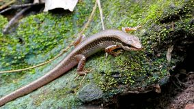 Skink on rock in tropical rain forest. Black-spotted Ground Skink Scincella melanosticta on rock in tropical rain forest stock video footage
