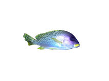 Black-spotted grunt fish on a white Royalty Free Stock Photography