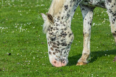 Black spotted horse grazing in a field Stock Photo