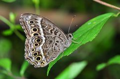 Black-spotted Labyrinth butterfly. Of Thailand background Stock Images