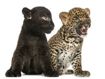 Black and Spotted Leopard cubs sitting next to each other Royalty Free Stock Photography