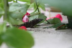 Black spotted lizard Royalty Free Stock Image