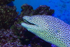 Black- spotted moray. (Gymnothorax melanospilus) in Japan Royalty Free Stock Photography