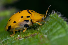 Black spotted orange tortoise beetle. Macro shot of an black spotted orange tortoise beetle Royalty Free Stock Photo