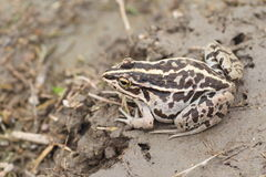 Black-spotted Pond Frog Stock Photo