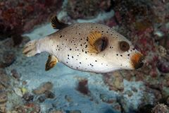 Black Spotted Puffer Royalty Free Stock Photos