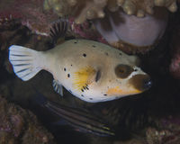 Black spotted pufferfish Royalty Free Stock Photo