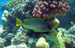 Black spotted rubberlip. Of the Read Sea corals Stock Photography