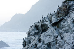 Black spotted Shags Royalty Free Stock Image