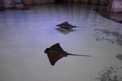 Black spotted stingray stock images