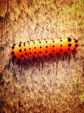 Black spotted yellow caterpillar Royalty Free Stock Photo