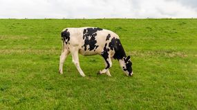 Black spotted young cow grazes next to a Dutch. Black-and-white cow grazes slowly walking the grass at the foot of the Dutch at the end of a cloudy day in the royalty free stock images