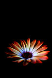 Black spring flower. Glowing spring flower isolated on black Royalty Free Stock Photo