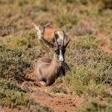 Black Springbok Antelope. A Black Springbok antelope in Southern African savanna Stock Image