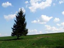Black spruce Stock Photo