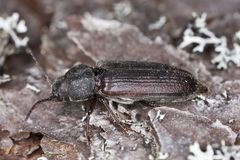 Black spruce borer (Asemum striatum) Stock Photography