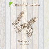 Black spruce, essential oil label, aromatic plant Royalty Free Stock Images