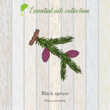 Black spruce, essential oil label, aromatic plant Royalty Free Stock Photography