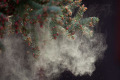 Black Spruce Tree releasing Pollen Royalty Free Stock Image