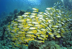 Black Spt Snapper. A large school of black-spot snapper swimming above the reef Stock Photos