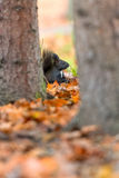 Black squirell. Squirel eating something while fall is in the air Royalty Free Stock Photos