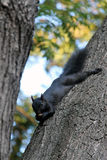 Black squirell Stock Image
