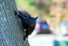 Black squirrel Royalty Free Stock Photos